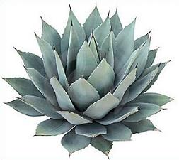 Agave clipart #19, Download drawings