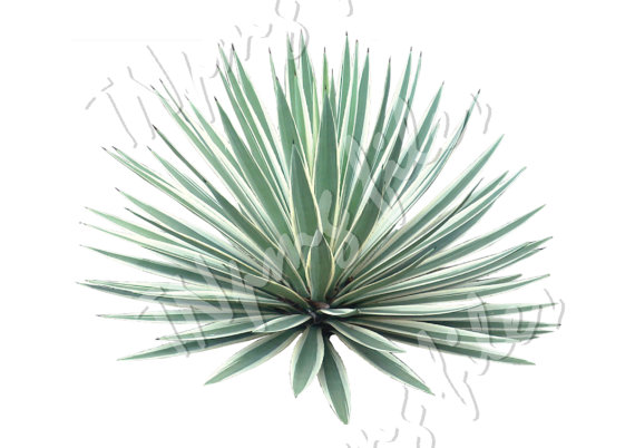 Agave svg #11, Download drawings