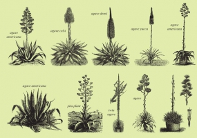 Agave svg #6, Download drawings