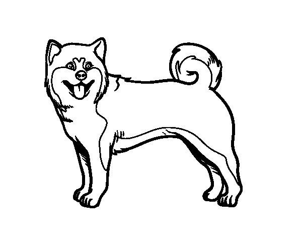 Akita coloring #6, Download drawings