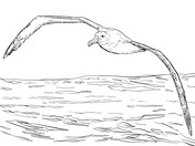 Albatross coloring #13, Download drawings