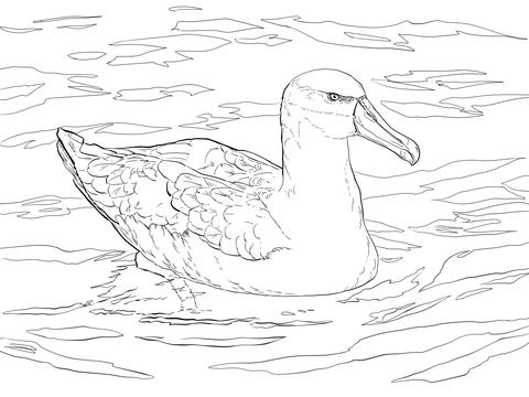 Albatross coloring #3, Download drawings