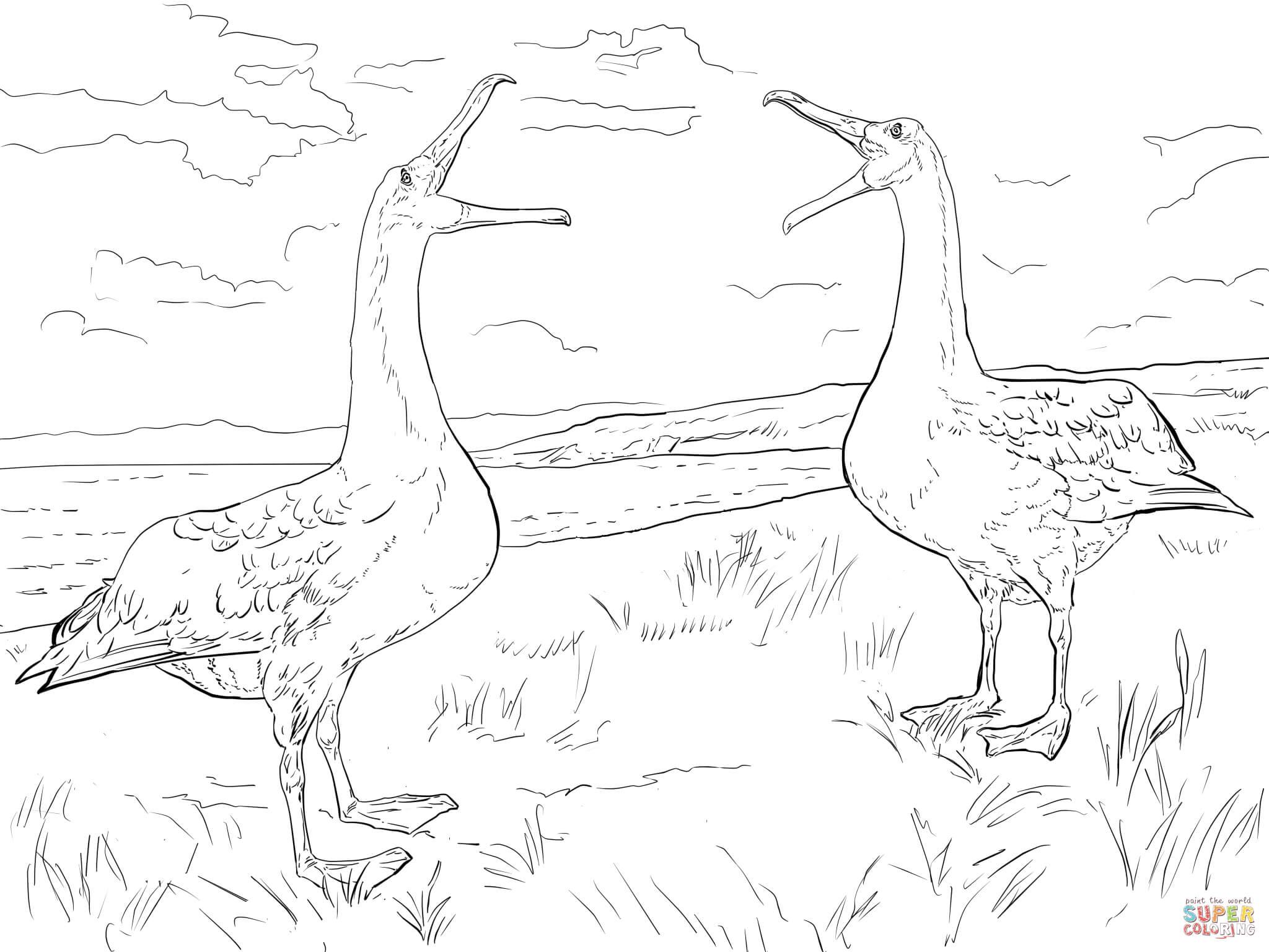 Albatross coloring #2, Download drawings