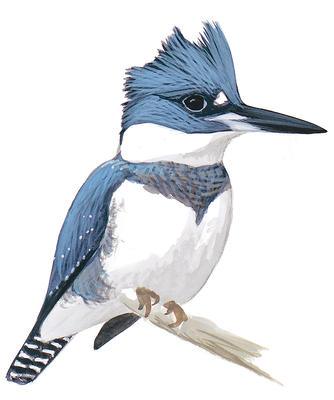 Belted Kingfisher clipart #20, Download drawings