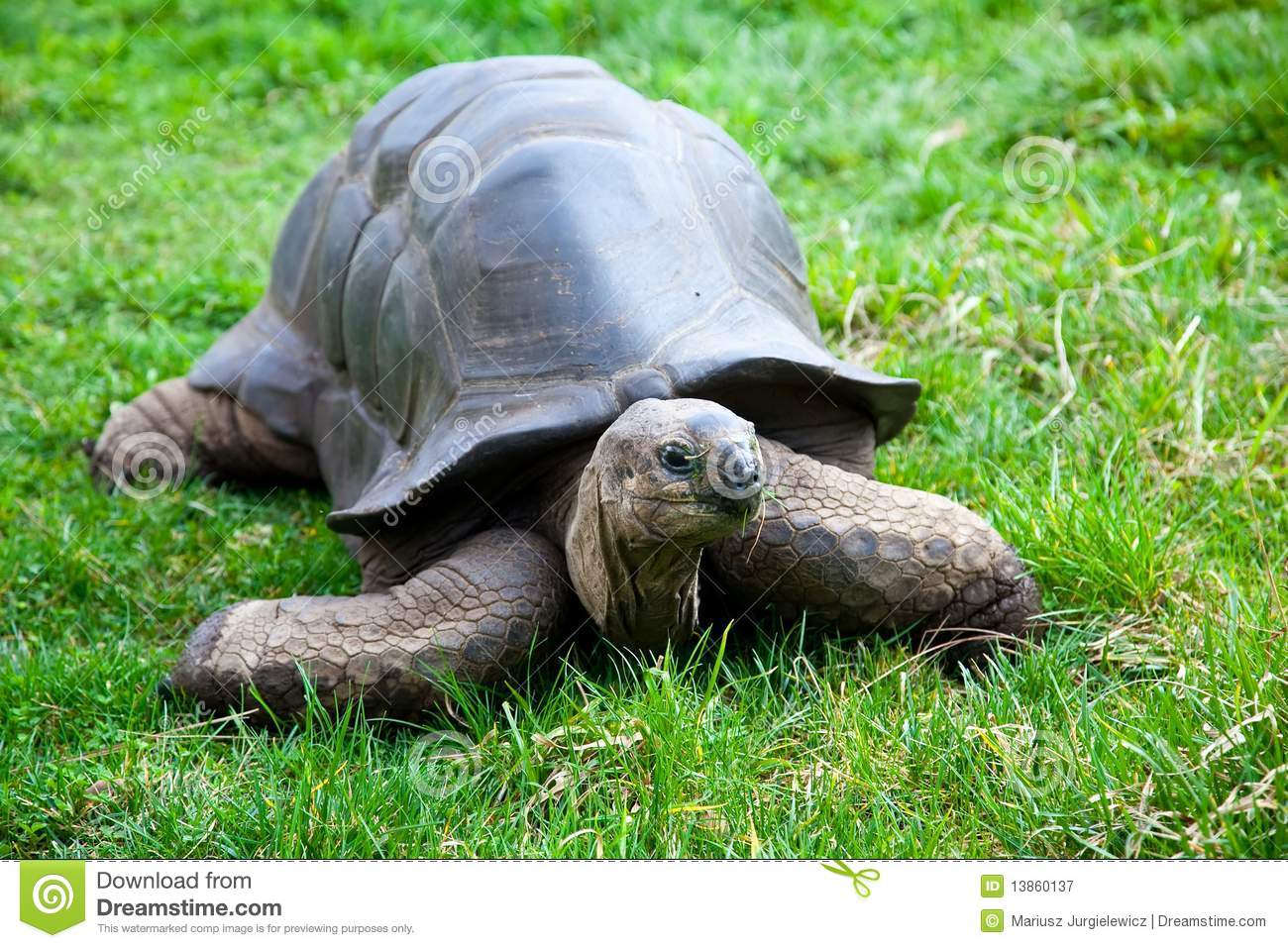 Aldabra Giant Tortoise clipart #12, Download drawings
