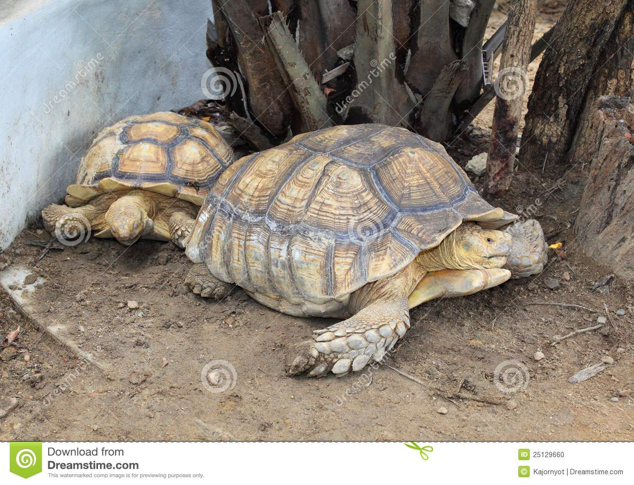 Aldabra Giant Tortoise clipart #16, Download drawings