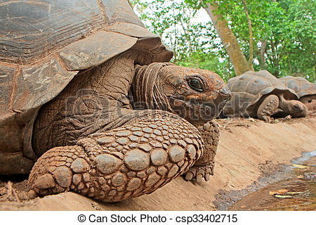 Aldabra Giant Tortoise clipart #10, Download drawings