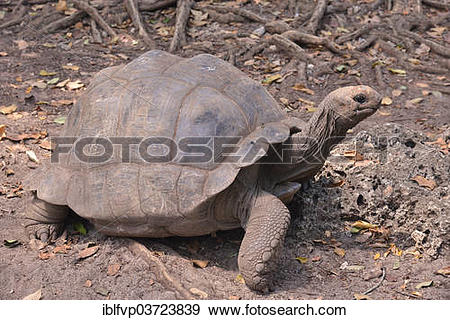 Aldabra Giant Tortoise clipart #9, Download drawings