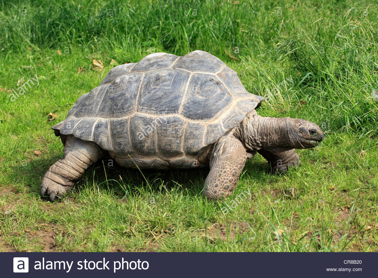 Aldabra Giant Tortoise clipart #3, Download drawings