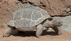 Aldabra Giant Tortoise clipart #11, Download drawings