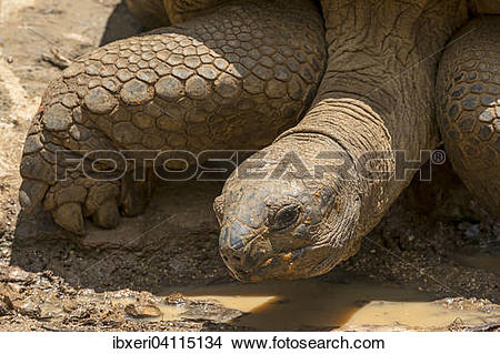 Aldabra Giant Tortoise clipart #5, Download drawings
