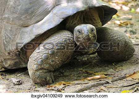Aldabra Giant Tortoise clipart #19, Download drawings