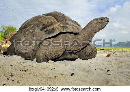 Aldabra Giant Tortoise clipart #20, Download drawings