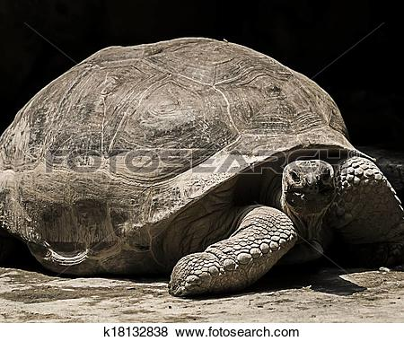 Aldabra Giant Tortoise clipart #17, Download drawings