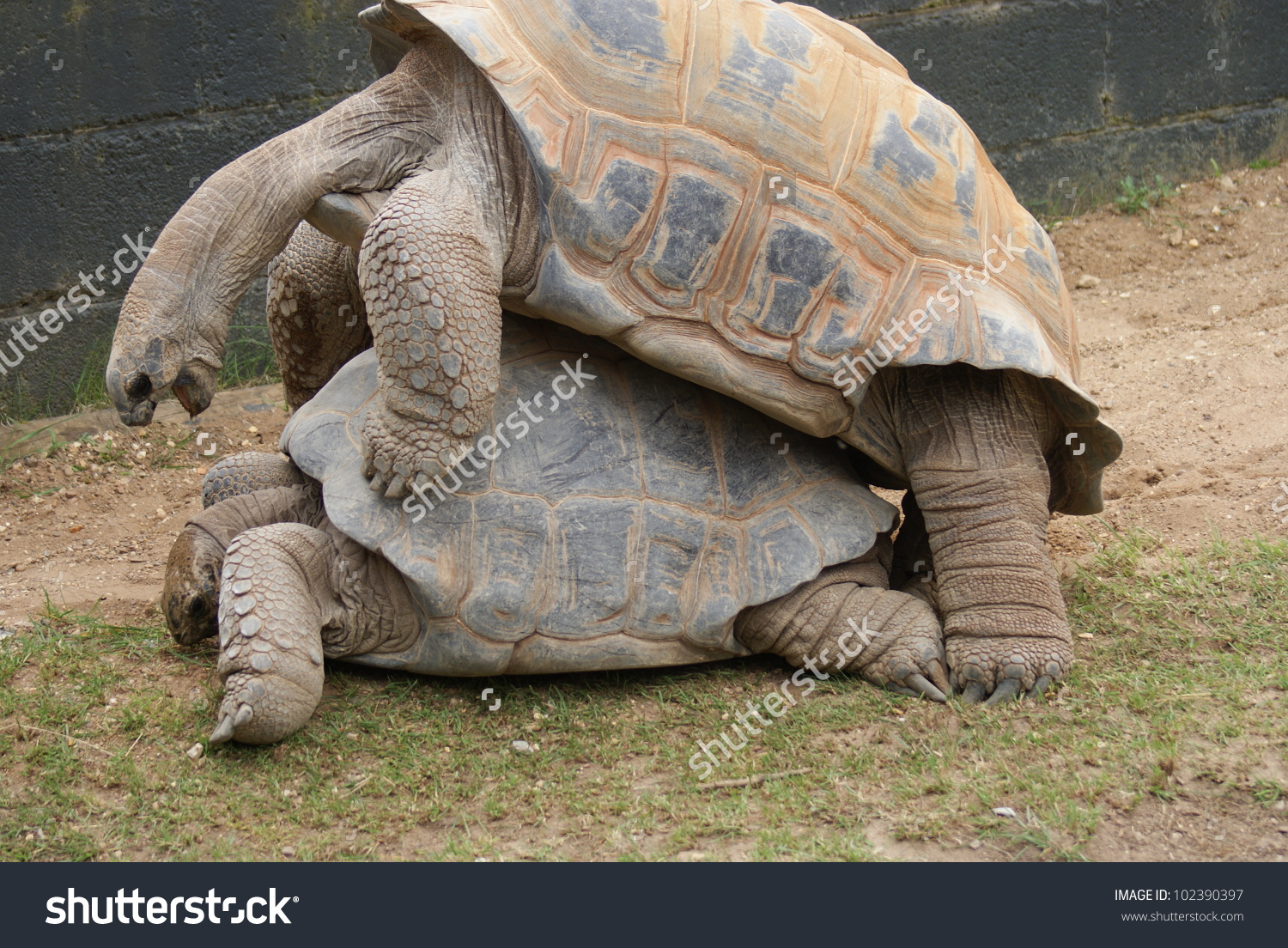 Aldabra Giant Tortoise clipart #6, Download drawings