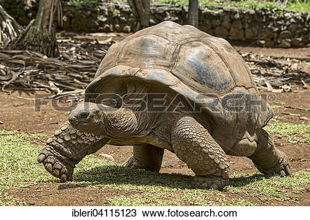 Aldabra Giant Tortoise clipart #13, Download drawings