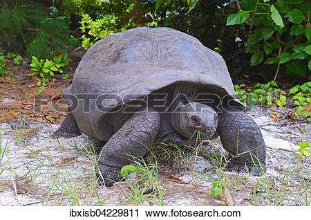 Aldabra Giant Tortoise clipart #15, Download drawings