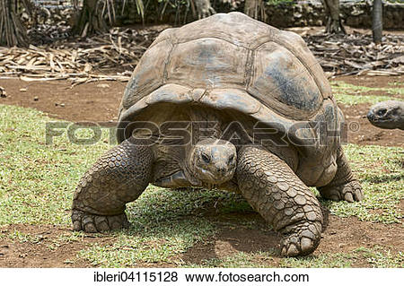 Aldabra Giant Tortoise clipart #14, Download drawings