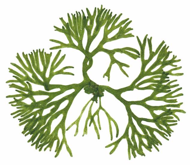 Algae clipart #11, Download drawings