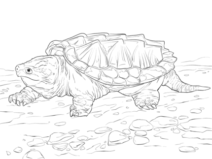 Alligator Snapping Turtle clipart #12, Download drawings