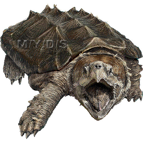 Alligator Snapping Turtle clipart #18, Download drawings