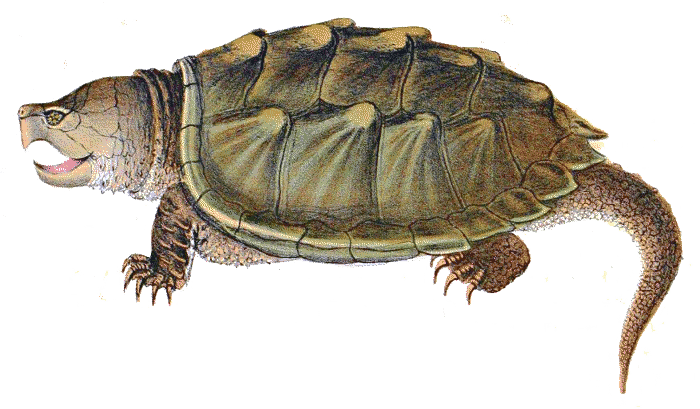 Alligator Snapping Turtle clipart #7, Download drawings