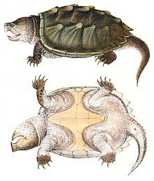 Alligator Snapping Turtle clipart #17, Download drawings