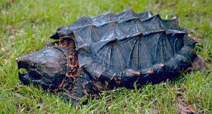 Alligator Snapping Turtle clipart #10, Download drawings