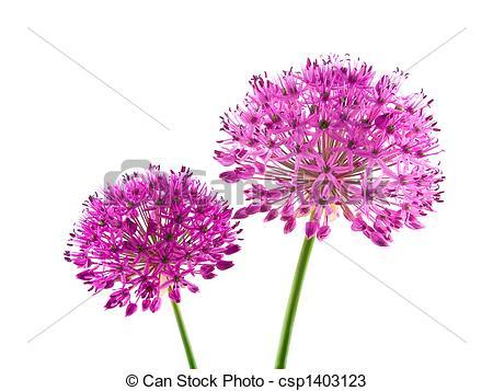 Allium clipart #2, Download drawings