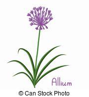 Allium clipart #17, Download drawings