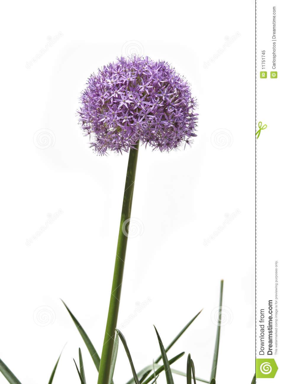 Allium clipart #6, Download drawings