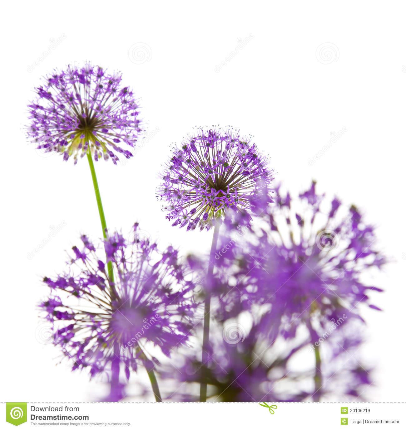 Allium clipart #8, Download drawings