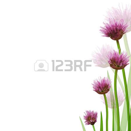 Allium clipart #10, Download drawings