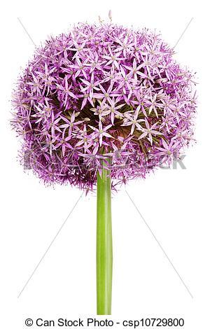 Allium clipart #15, Download drawings