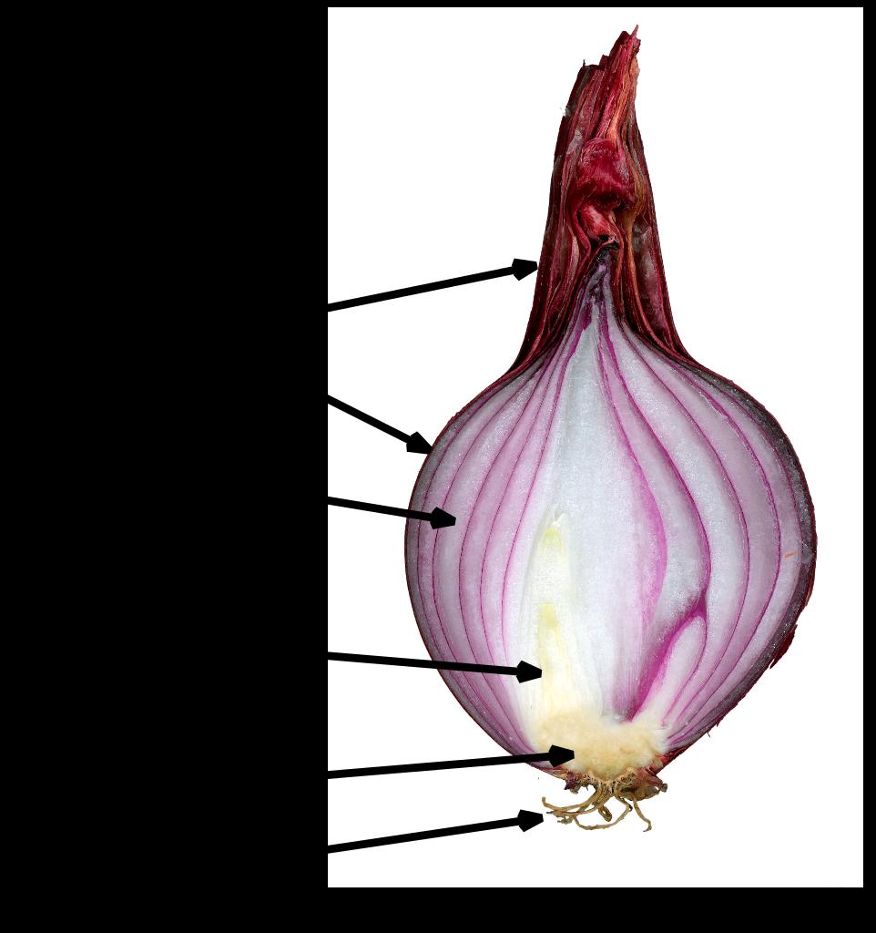 Allium svg #16, Download drawings
