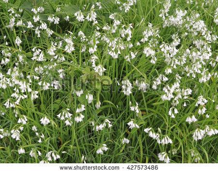 Allium Triquetrum clipart #3, Download drawings