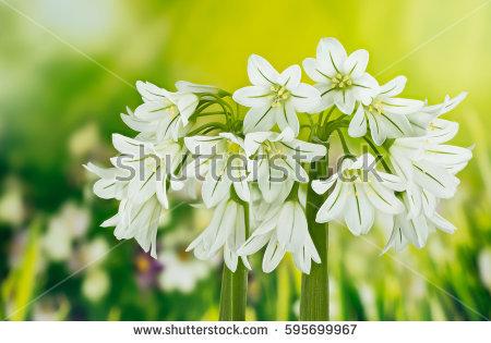 Allium Triquetrum clipart #5, Download drawings