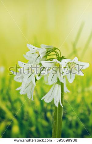 Allium Triquetrum clipart #4, Download drawings