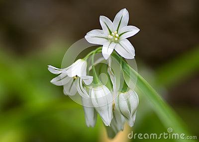 Allium Triquetrum clipart #6, Download drawings