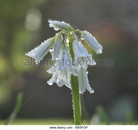 Allium Triquetrum clipart #7, Download drawings