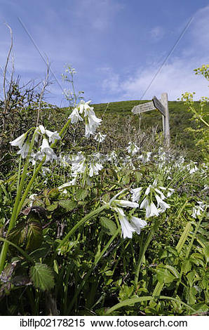 Allium Triquetrum clipart #18, Download drawings