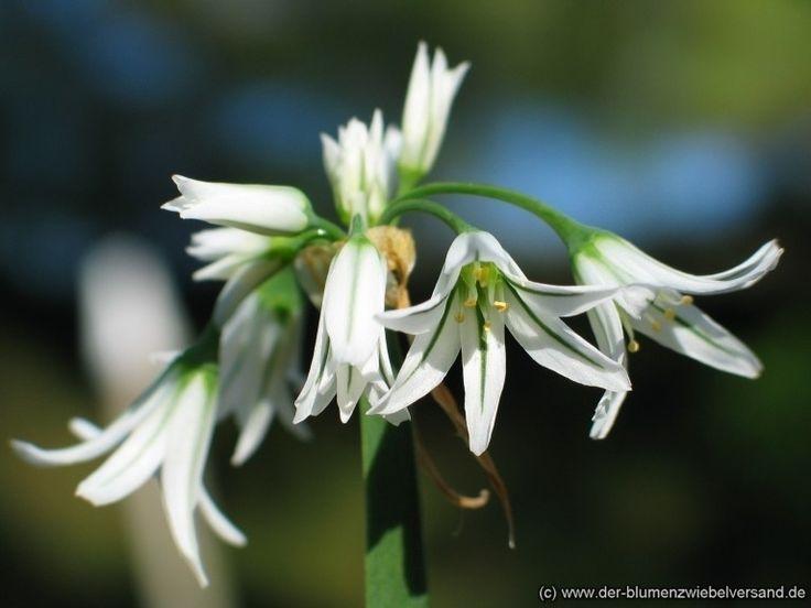 Allium Triquetrum clipart #2, Download drawings