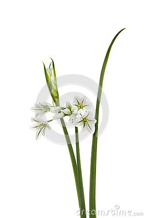 Allium Triquetrum clipart #19, Download drawings