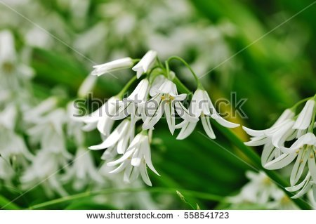 Allium Triquetrum clipart #14, Download drawings