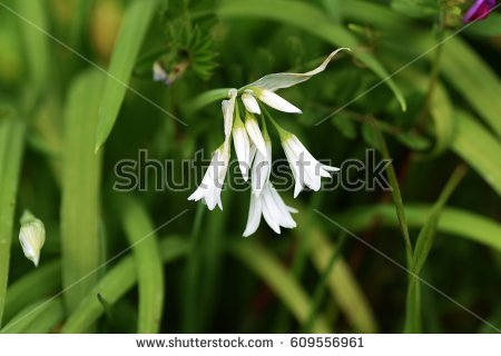 Allium Triquetrum clipart #17, Download drawings