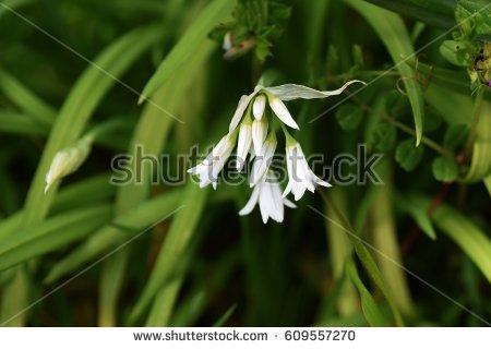 Allium Triquetrum clipart #16, Download drawings