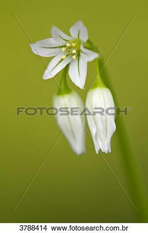 Allium Triquetrum clipart #15, Download drawings