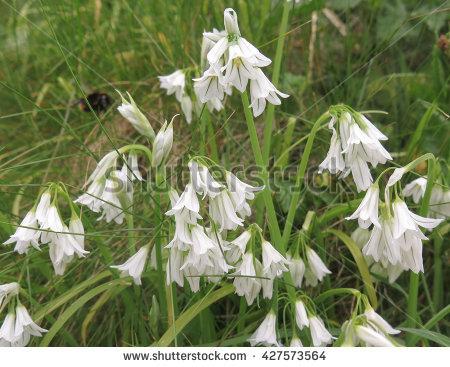 Allium Triquetrum clipart #12, Download drawings