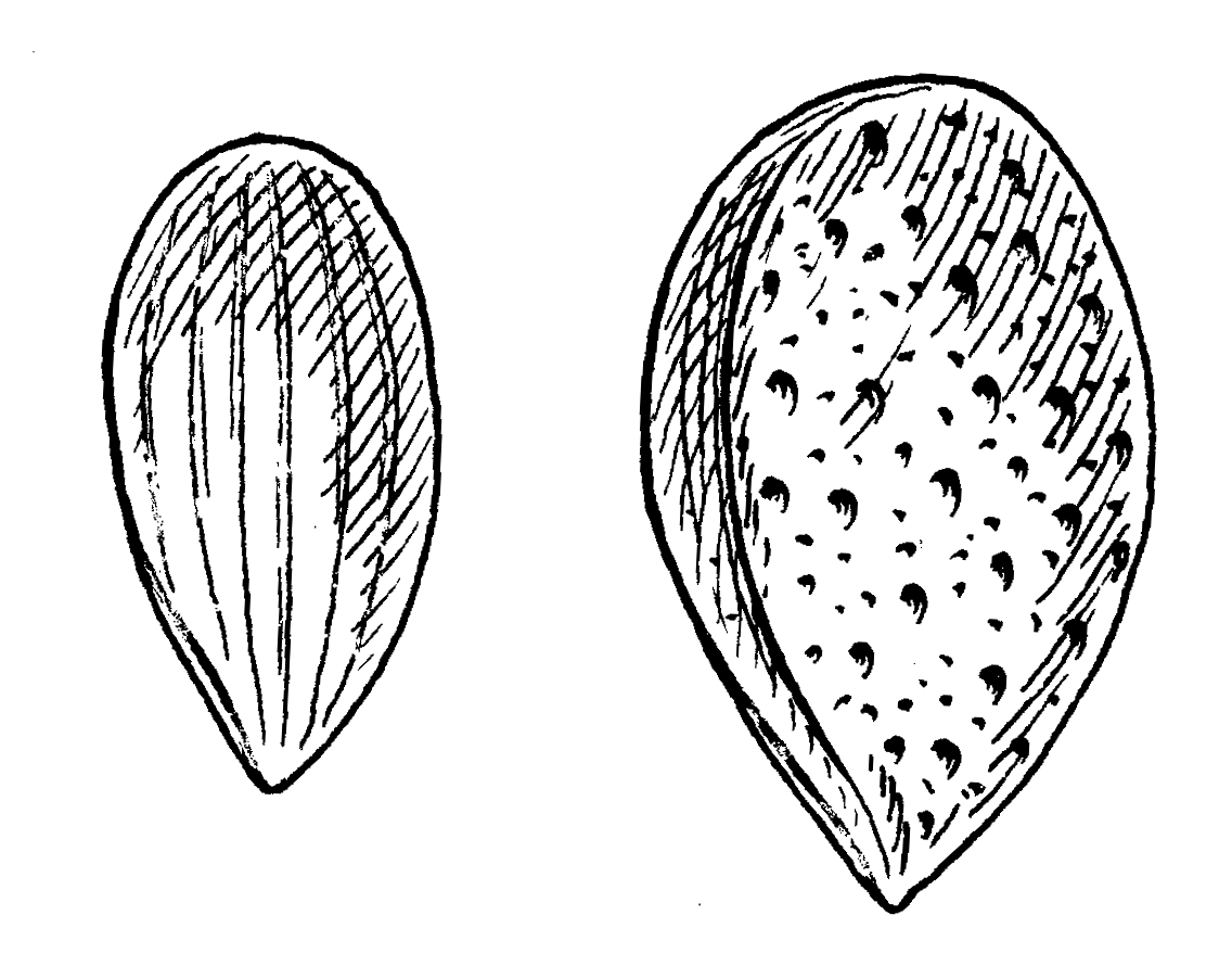 Almond coloring #1, Download drawings
