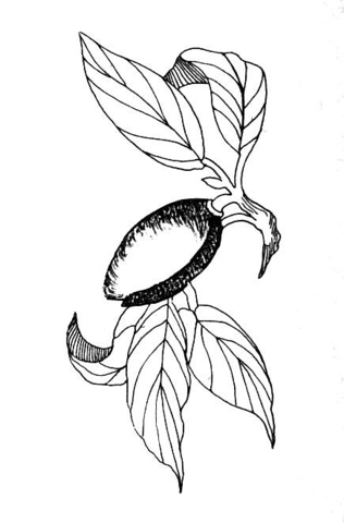 Almond coloring #15, Download drawings